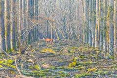 鹿在一个森林里在阳光下在冬天 免版税库存照片