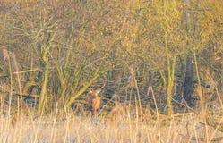 鹿在一个森林里在阳光下在冬天 免版税库存图片