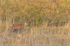 鹿在一个森林里在阳光下在冬天 库存图片