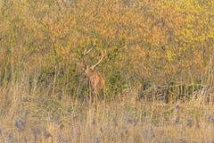 鹿在一个森林里在阳光下在冬天 图库摄影