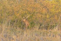 鹿在一个森林里在阳光下在冬天 免版税图库摄影