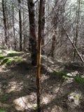 鹿在一棵小树的麋磨擦在足迹 免版税图库摄影