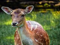 鹿在丹麦 库存图片