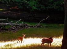 鹿在丹麦 免版税库存图片