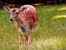 鹿在丹麦 库存照片