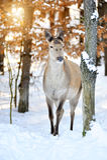 鹿在冬天森林里 库存照片