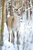 鹿在冬天森林里 库存图片