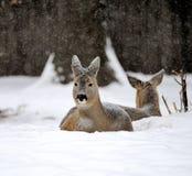 鹿在冬天 免版税库存图片