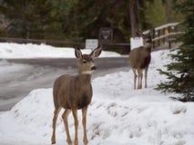 鹿在加拿大在冬天 库存照片