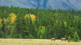 鹿在加拿大 影视素材