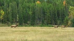 鹿在加拿大 股票录像