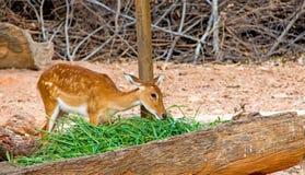 鹿在动物园里吃草 库存照片