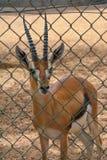 鹿在动物园里 图库摄影