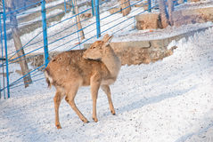 鹿在动物园里 免版税库存图片