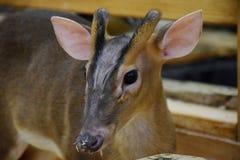 鹿在动物园里 库存照片