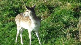 鹿在埃菲尔德公园!!! 免版税库存图片