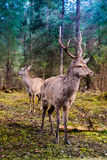 鹿在夏天森林里 库存照片