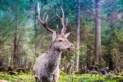 鹿在夏天森林里 免版税图库摄影