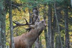 鹿在安大略的加拿大森林里 库存照片