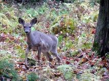 鹿在安大略的加拿大森林里 免版税库存图片
