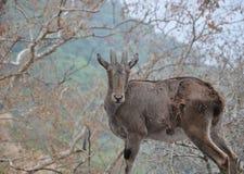 鹿在密林 图库摄影