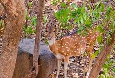 鹿在密林 库存图片