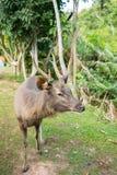 鹿在帐篷khao的亚伊,泰国阵营地方 免版税图库摄影