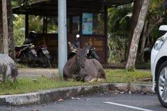 鹿在庭院里 免版税库存图片
