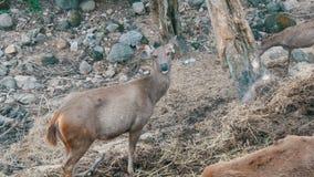 鹿在森林里 股票视频