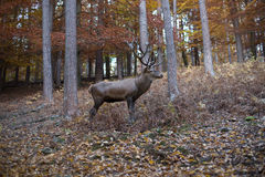 鹿在森林里 库存图片