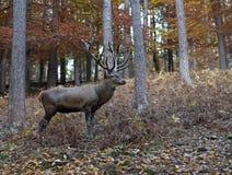 鹿在森林里 库存照片