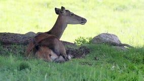 鹿在森林 免版税库存照片