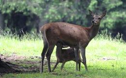 鹿在森林 免版税库存图片