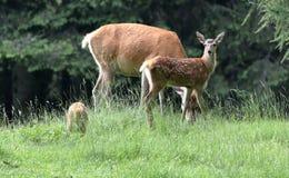 鹿在森林 图库摄影