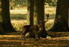 鹿在森林 免版税图库摄影