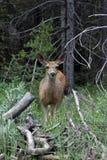 鹿在森林 库存图片