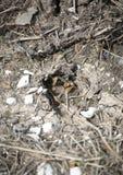 鹿在泥跟踪 免版税库存照片