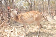 鹿在泰国动物园里 免版税库存图片