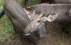 鹿在泰国动物园里 免版税库存照片