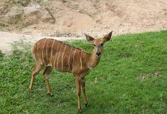 鹿在泰国动物园里 图库摄影