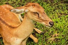鹿在泰国 库存照片