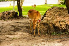 鹿在泰国 免版税库存照片