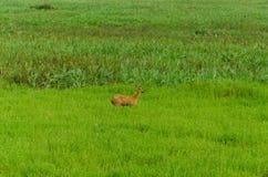 鹿在潘塔纳尔湿地 免版税图库摄影