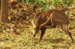 鹿在热带森林里 图库摄影
