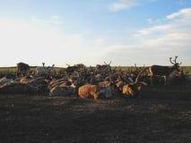 鹿在牧场地说谎 库存照片