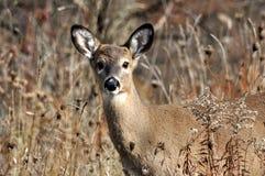鹿在秋天 免版税图库摄影