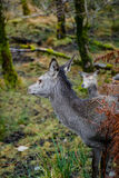 鹿在苏格兰 库存图片