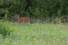 鹿在草甸 库存照片