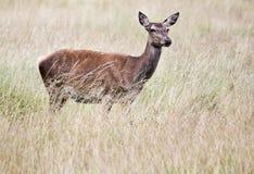 鹿在草甸 免版税库存照片