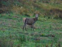 鹿在草甸 库存图片